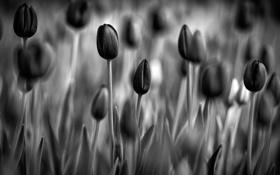 Картинка цветы, обои, тюльпаны, черно-белое фото