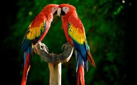 Картинка яркие, попугаи, разноцветные, жердочка