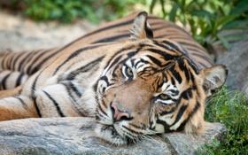 Картинка кошка, морда, тигр, суматранский