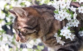 Картинка котэ, цветущая вишня, Киса