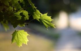 Обои листья, клен, природа, свет, боке, размытость