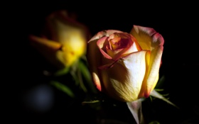 Картинка роза, макро, цветы