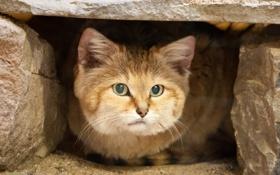 Картинка кошка, взгляд, песчаный кот, барханная кошка, sand cat