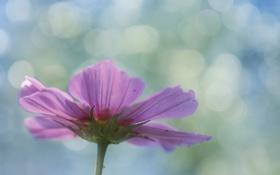 Обои цветок, лепестки, розовые, боке