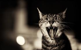 Обои кот, зубы, пасть, котэ зевает