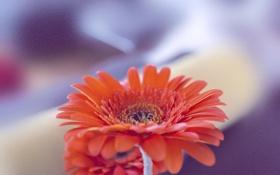 Картинка цветок, гербера, Xpand, Orange Gerbera, оранжевый, макро