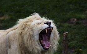 Картинка язык, морда, хищник, пасть, грива, клыки, дикая кошка