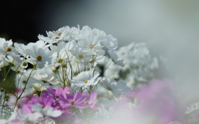 Картинка цветы, размытость, розовые, белые, полевые, космея