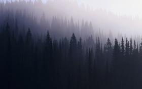 Обои лес, туман, ель