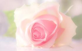Картинка роза, бутон, лепестки, макро, нежность