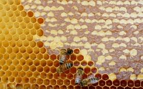 Обои природа, мёд, пчёлы