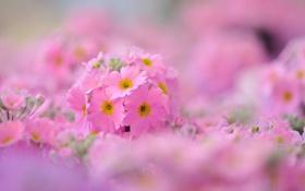 Обои природа, растение, флоксы, лепестки, цветы