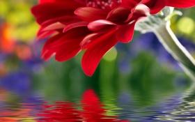 Картинка цветок, вода, отражение, лепестки, стебель