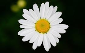 Картинка цветок, цветы, фон, обои, размытие, ромашка, wallpaper