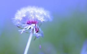 Картинка flower, Taraxacum officinale, Dandelion