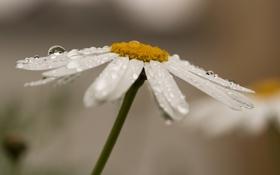 Картинка цветок, вода, капли, роса, лепестки, ромашка