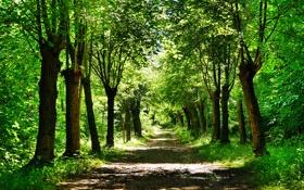 Картинка дорога, зелень, лес, трава, листья, деревья, природа