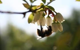 Обои цветок, пчела, белый, лето, насекомое, макро