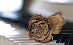 Обои роза, пианино, музыка