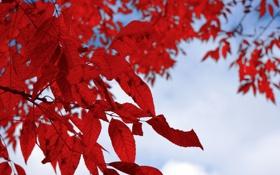 Обои белый, листья, красный, ветка