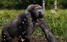 Обои лес, бабочки, природа, обезьяна, горилла