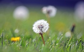 Обои кульбабка, одуваньчик, трава, цветы