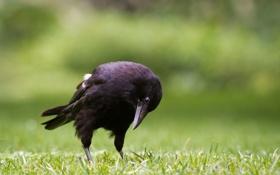 Обои трава, птица, ворон