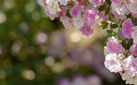 Картинка цветы, розы, розовые, белые, бутоны, боке