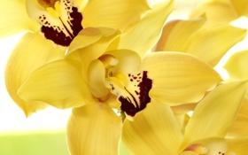 Картинка цветы, желтые, лепестки, орхидеи
