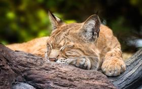 Обои отдых, сон, спящая рысь