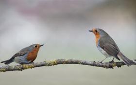 Обои две, ветка, птички