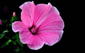 Обои цветок, капли, роса, растение, лепестки