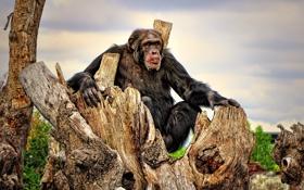 Картинка Шимпанзе, раздумья, досуг