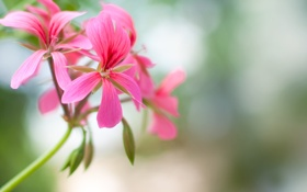 Обои бутоны, цветочки, соцветие, розовая, герань