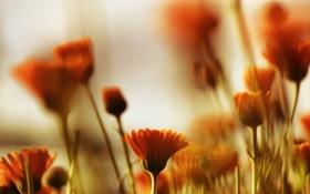 Обои макро, цветы, размытость, оранжевые, календула