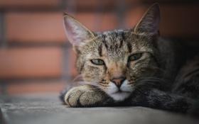 Обои кошка, фон, отдых, портрет, серая, полосатая