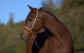 Картинка морда, конь, лошадь, грация, профиль, красавец, гнедой