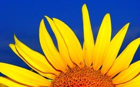 Обои цветок, небо, подсолнух, лепестки