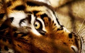 Обои взгляд, морда, тигр, глаз, хищник