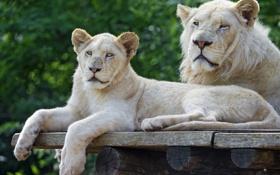 Обои кошки, пара, детёныш, львёнок, белый лев, ©Tambako The Jaguar