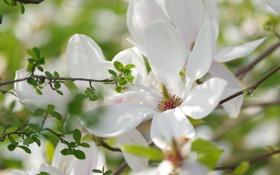 Обои белый, цветок, цветы, дерево, весна, магнолия