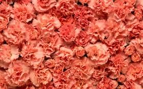 Обои макро, розовые, цветы