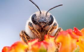 Картинка цветок, макро, пчела, насекомое