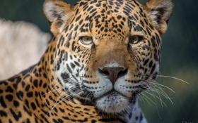 Обои усы, морда, хищник, ягуар, большая кошка