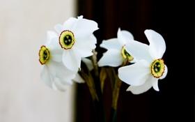 Картинка белый, цветы, фон, букет, весна, нарциссы