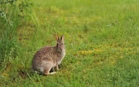Обои зелень, трава, заяц, русак