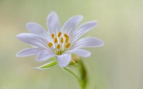 Картинка природа, цветок, растение, лепестки, тычинки