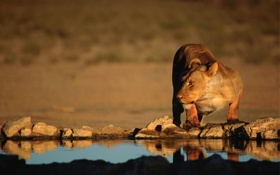 Обои кошка, хищник, оазис, львица, водопой, дикая