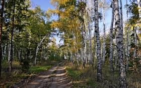 Обои лес, берёзы, дорога