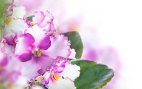 Обои цветы, фиалки, листики